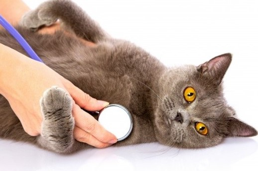 Heart Murmurs in Cats — Should You be Concerned?